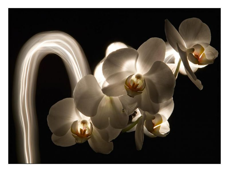 galeriemembrefleurorchideelightpaintingorchidee.jpg